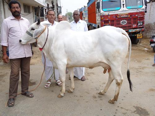 Vache de la race Tharparkar.