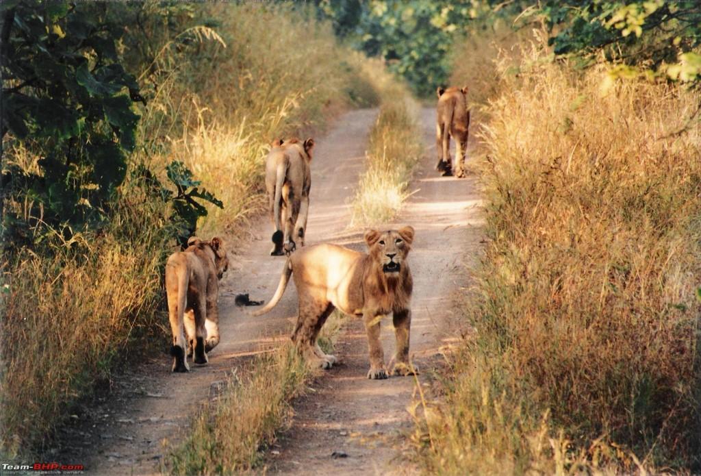 Meute de lionnes dans les forêts de Gir au Gujarat.