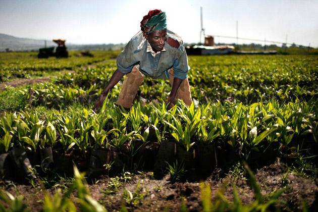 Dans les champs d'Ethiopie, la culture de la palme, un secteur convoité par les Indiens.
