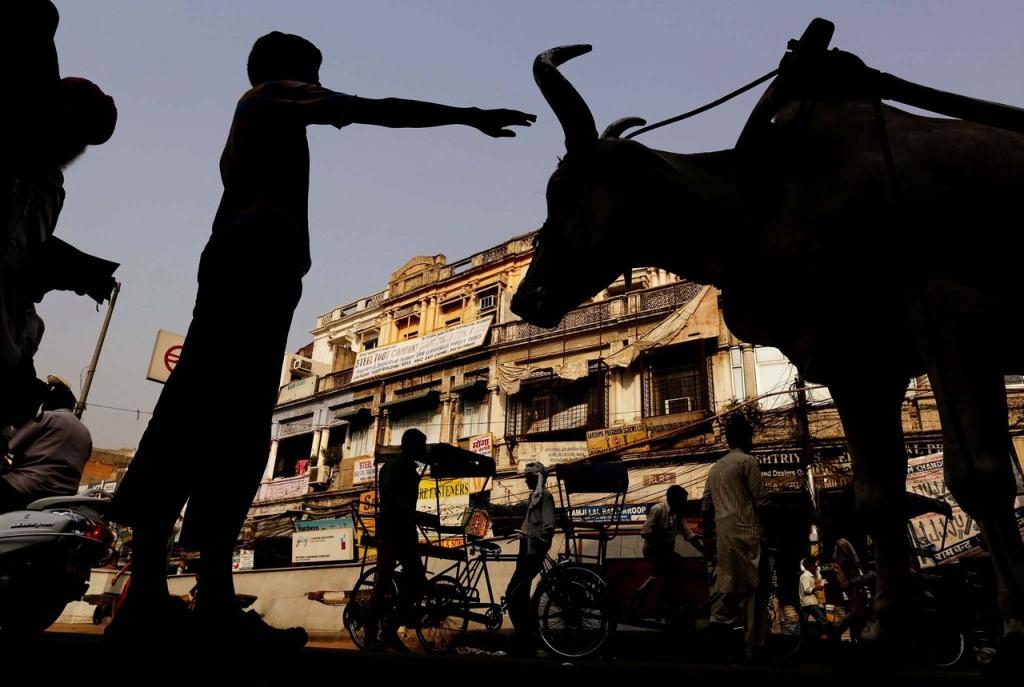 Le statut de la vache, un révélateur d'une transition sociale.