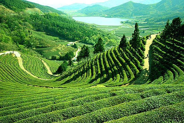 L'agitation gagne la vallée Darjeeling et ses fameux théiers.