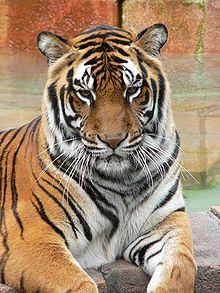 220px-Panthera_tigris7